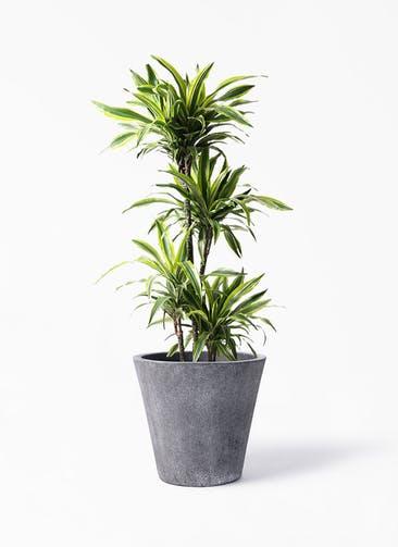 観葉植物 ドラセナ ワーネッキー レモンライム 10号 フォリオソリッド ブラックウォッシュ 付き
