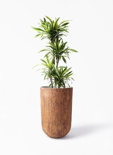 観葉植物 ドラセナ ワーネッキー レモンライム 10号 バル トール ラスティ 付き