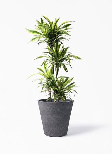 観葉植物 ドラセナ ワーネッキー レモンライム 10号 ビアスソリッド ブラック 付き