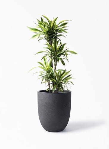 観葉植物 ドラセナ ワーネッキー レモンライム 10号 ビアスアルトエッグ ブラック 付き