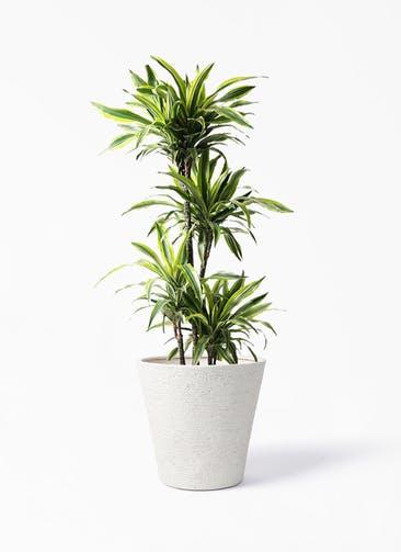 観葉植物 ドラセナ ワーネッキー レモンライム 10号 ビアスソリッド アイボリー 付き