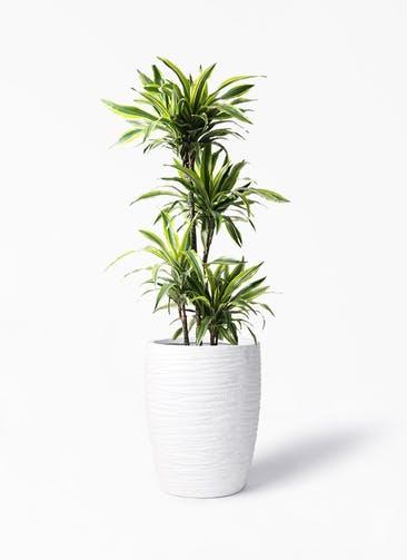 観葉植物 ドラセナ ワーネッキー レモンライム 10号 サン ミドル リッジ 白 付き