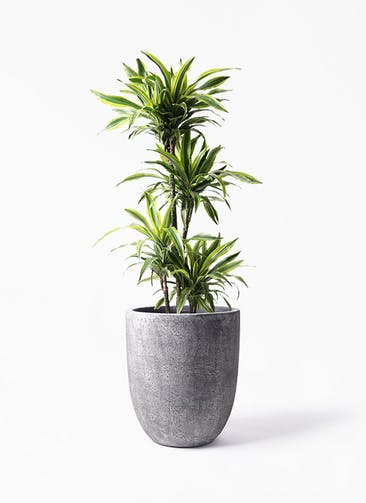 観葉植物 ドラセナ ワーネッキー レモンライム 10号 フォリオアルトエッグ ブラックウォッシュ 付き