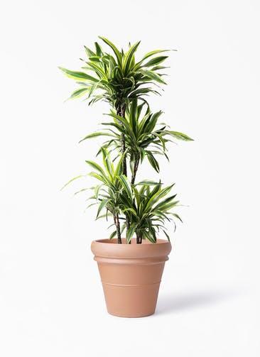 観葉植物 ドラセナ ワーネッキー レモンライム 10号 トスカーナ リムポット 付き