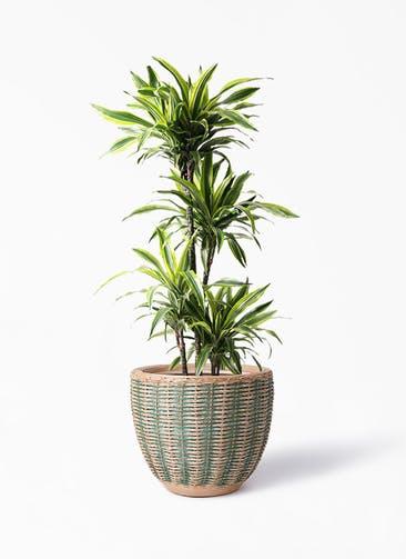 観葉植物 ドラセナ ワーネッキー レモンライム 10号 マラッカ ダイドグリーン 付き