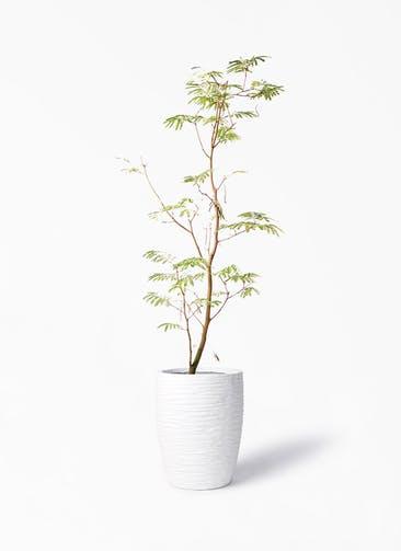 観葉植物 エバーフレッシュ 10号 ボサ造り サン ミドル リッジ 白 付き