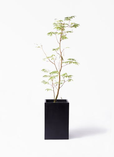 観葉植物 エバーフレッシュ 10号 ボサ造り セドナロング  墨 付き
