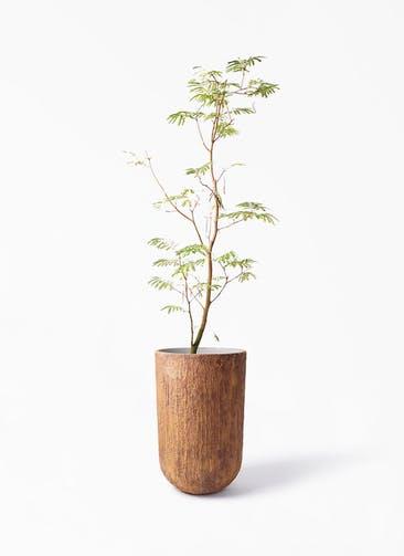 観葉植物 エバーフレッシュ 10号 ボサ造り バル トール ラスティ 付き