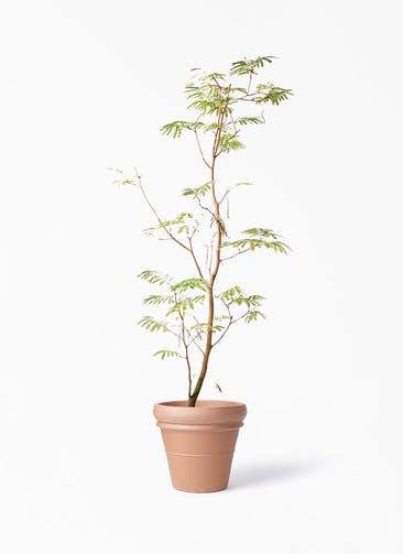 観葉植物 エバーフレッシュ 10号 ボサ造り トスカーナ リムポット 付き