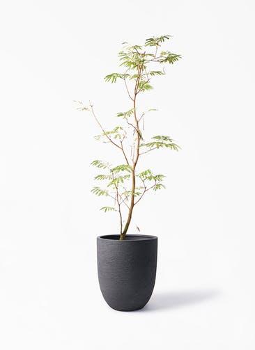 観葉植物 エバーフレッシュ 10号 ボサ造り ビアスアルトエッグ ブラック 付き