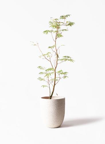 観葉植物 エバーフレッシュ 10号 ボサ造り ビアスアルトエッグ 白 付き