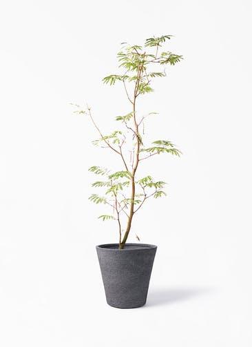 観葉植物 エバーフレッシュ 10号 ボサ造り ビアスソリッド ブラック 付き