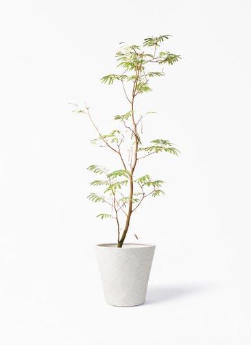 観葉植物 エバーフレッシュ 10号 ボサ造り ビアスソリッド アイボリー 付き