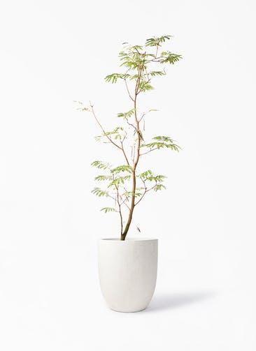 観葉植物 エバーフレッシュ 10号 ボサ造り フォリオアルトエッグ クリーム 付き