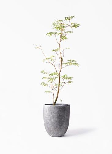 観葉植物 エバーフレッシュ 10号 ボサ造り フォリオアルトエッグ ブラックウォッシュ 付き
