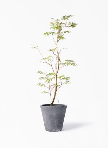 観葉植物 エバーフレッシュ 10号 ボサ造り フォリオソリッド ブラックウォッシュ 付き