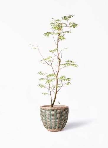 観葉植物 エバーフレッシュ 10号 ボサ造り マラッカ ダイドグリーン 付き