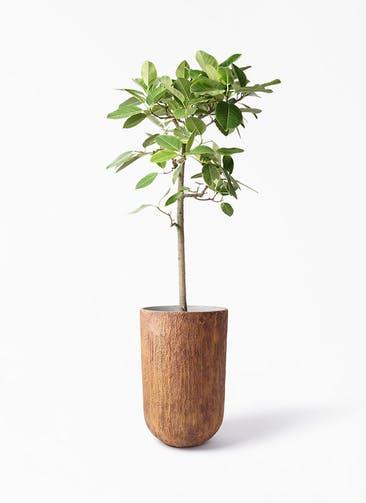 観葉植物 フィカス アルテシーマ 10号 ストレート バル トール ラスティ 付き