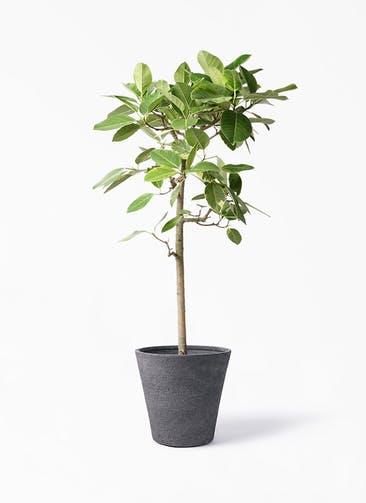 観葉植物 フィカス アルテシーマ 10号 ストレート ビアスソリッド ブラック 付き