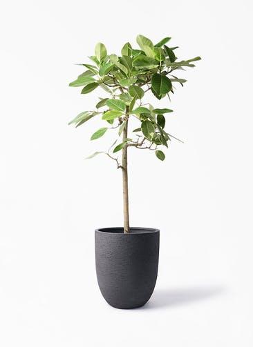 観葉植物 フィカス アルテシーマ 10号 ストレート ビアスアルトエッグ ブラック 付き