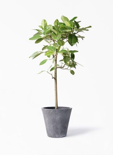 観葉植物 フィカス アルテシーマ 10号 ストレート フォリオソリッド ブラックウォッシュ 付き