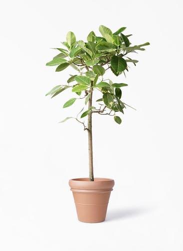 観葉植物 フィカス アルテシーマ 10号 ストレート トスカーナ リムポット 付き