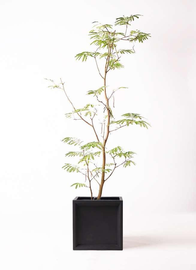 観葉植物 エバーフレッシュ 10号 ボサ造り ブリティッシュキューブ