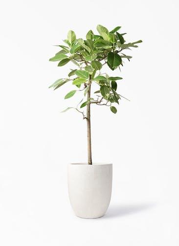 観葉植物 フィカス アルテシーマ 10号 ストレート フォリオアルトエッグ クリーム 付き