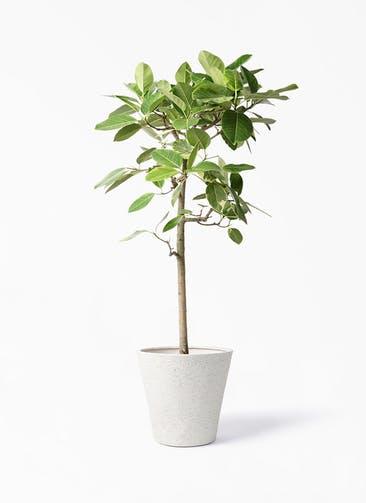 観葉植物 フィカス アルテシーマ 10号 ストレート ビアスソリッド アイボリー 付き