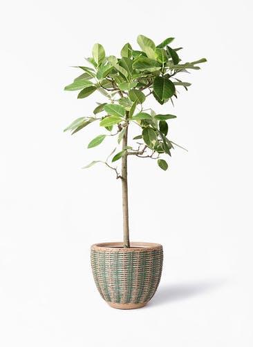 観葉植物 フィカス アルテシーマ 10号 ストレート マラッカ ダイドグリーン 付き