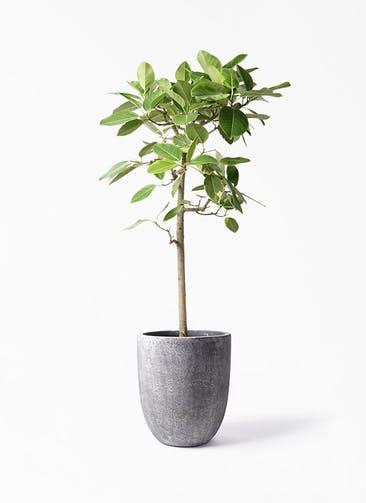 観葉植物 フィカス アルテシーマ 10号 ストレート フォリオアルトエッグ ブラックウォッシュ 付き