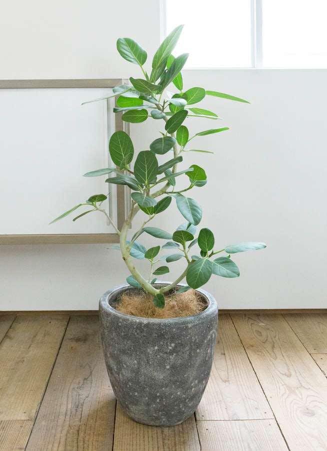 観葉植物 フィカス ベンガレンシス 8号 曲り アビスソニア ミドル 灰 付き