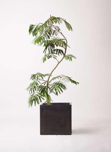 観葉植物 エバーフレッシュ 10号 曲り ファイバークレイ キューブ 付き
