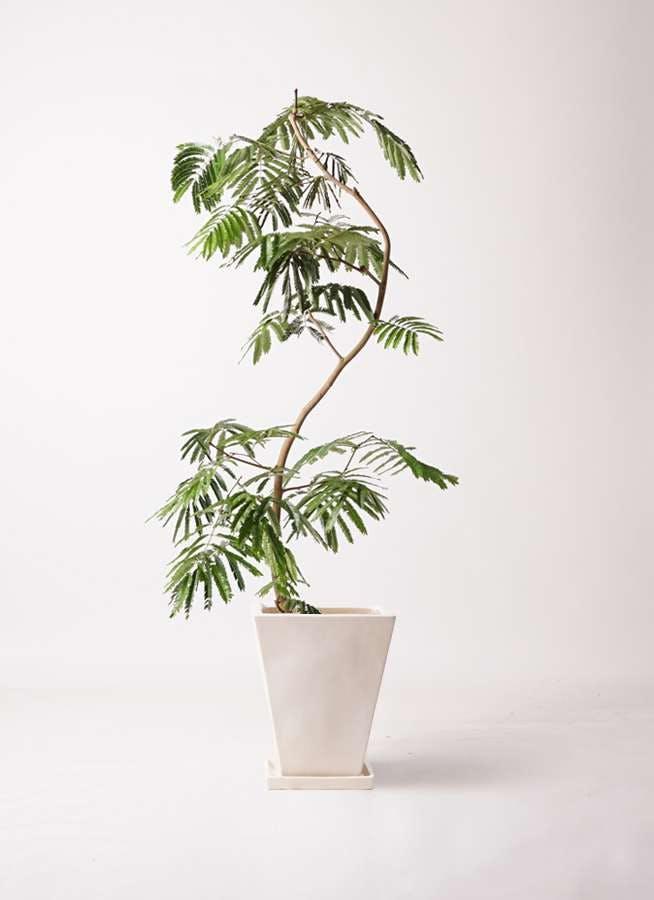 観葉植物 エバーフレッシュ 10号 曲り スクエアハット 白