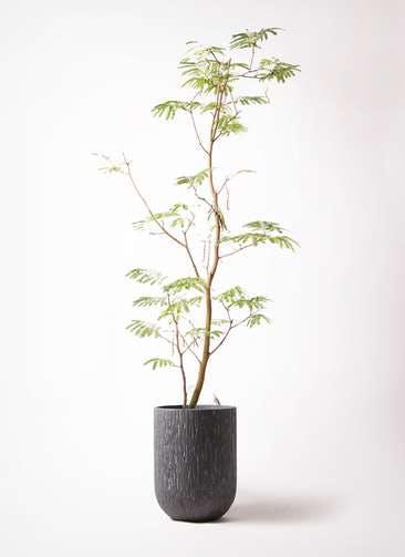 観葉植物 エバーフレッシュ 10号 ボサ造り カルディナトールダークグレイ