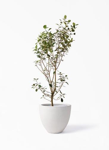 観葉植物 フランスゴムの木 10号 ノーマル スタウト アッシュラウンド  付き