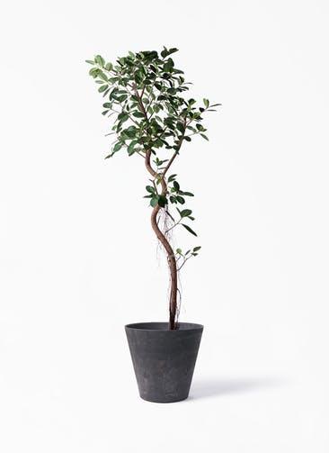観葉植物 フィカス ジャンボリーフ 10号 アートストーン ラウンド ブラック 付き