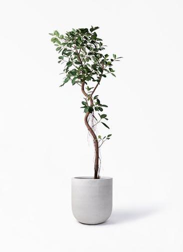 観葉植物 フィカス ジャンボリーフ 10号 バルゴ モノ ライトグレー 付き