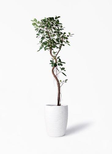 観葉植物 フィカス ジャンボリーフ 10号 サン ミドル リッジ 白 付き
