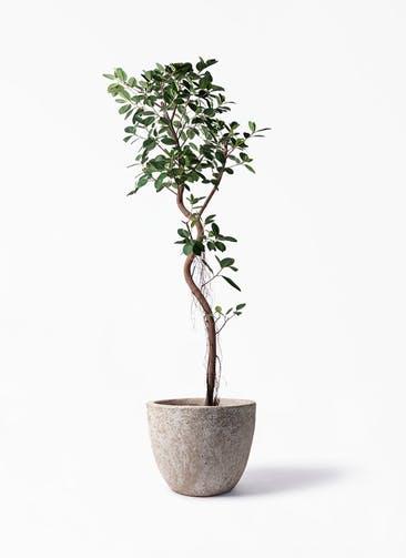 観葉植物 フィカス ジャンボリーフ 10号 アビスソニア ラウンド 付き