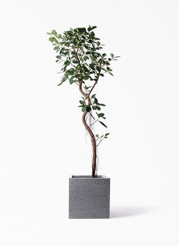 観葉植物 フィカス ジャンボリーフ 10号 キューブ ラテルストーン 付き