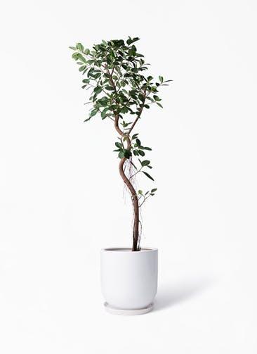 観葉植物 フィカス ジャンボリーフ 10号 アファール 白 付き