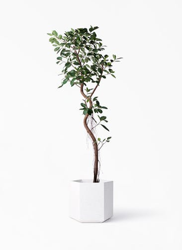 観葉植物 フィカス ジャンボリーフ 10号 コーテス ヘックス ホワイトテラゾ 付き