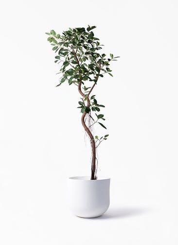 観葉植物 フィカス ジャンボリーフ 10号 アユラニ ライレイ 付き