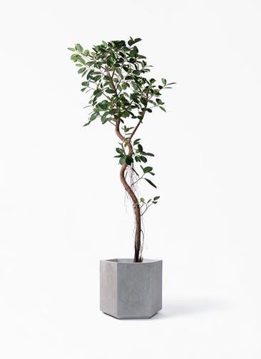 観葉植物 フィカス ジャンボリーフ 10号 コーテス ヘックス 灰 付き