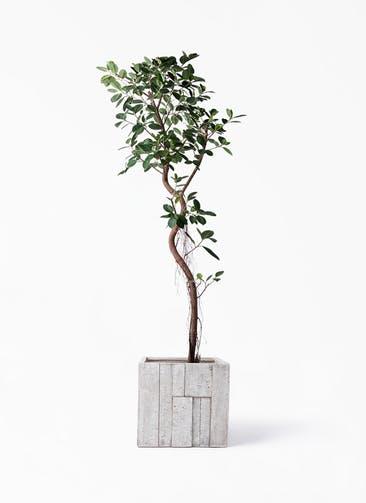 観葉植物 フィカス ジャンボリーフ 10号 パターン キューブ 付き