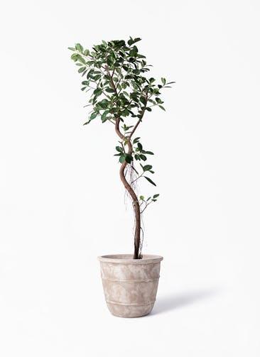 観葉植物 フィカス ジャンボリーフ 10号 テラアストラ シリウス 付き