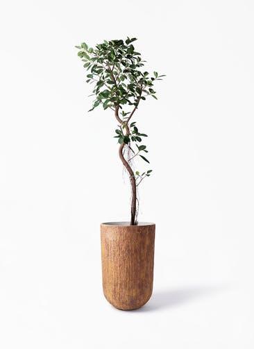 観葉植物 フィカス ジャンボリーフ 10号 バル トール ラスティ 付き