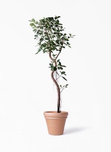 観葉植物 フィカス ジャンボリーフ 10号 トスカーナ リムポット 付き