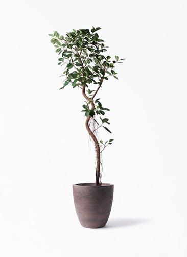 観葉植物 フィカス ジャンボリーフ 10号 コーテス ラウンド ブラウン 付き